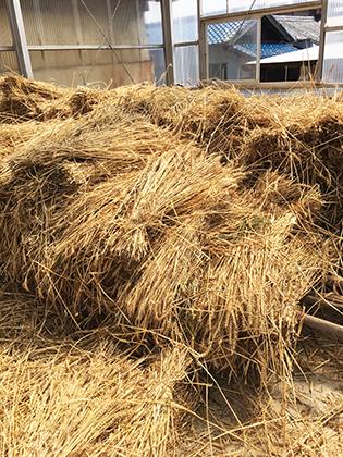刈り取り後乾燥10日間